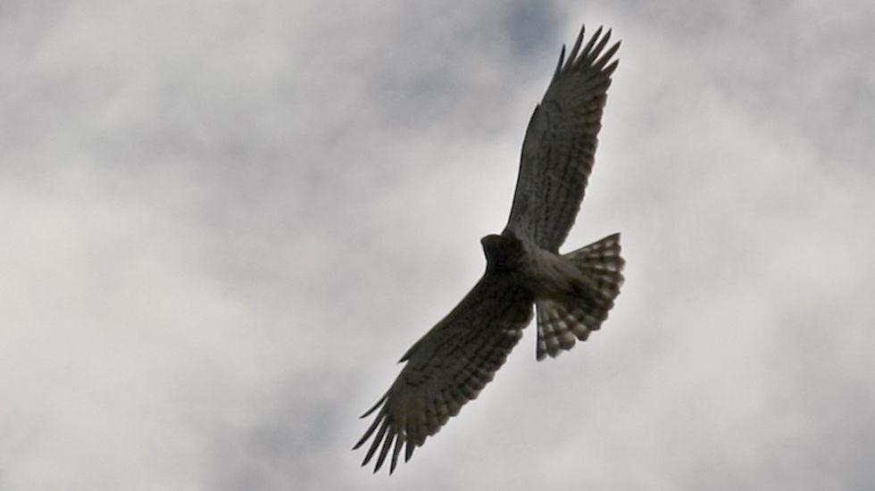 El águila culebrera es una de las rapaces que frecuentan el cañón del Sil