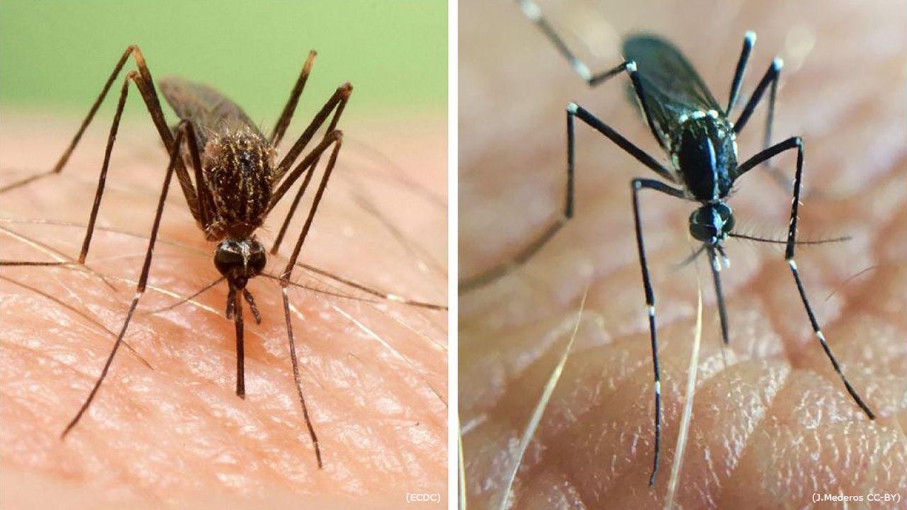 A la izquierda, el mosquito asiático, y a la derecha, el mosquito tigre