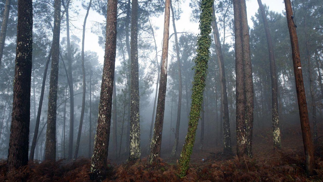 La lucha contra la plaga del pino