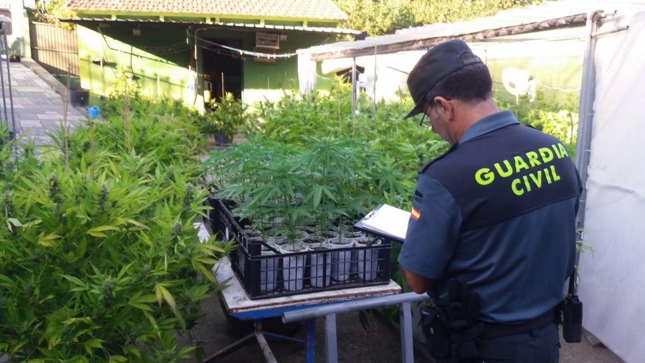 Así era la plantación de marihuana desmantelada en Gondomar.