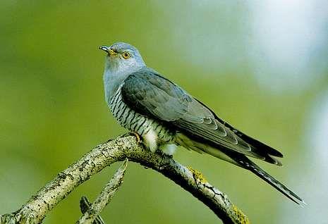 O cuco real e corvo pequeno manteñen una particular forma de simbiose