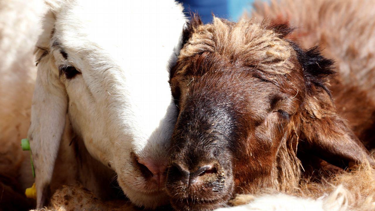 Dos ovejas permanecen en un mercado de ganado para su venta con motivo de las celebraciones del Eid al Adha, o Fiesta del Sacrificio, en Varamin, Irán.