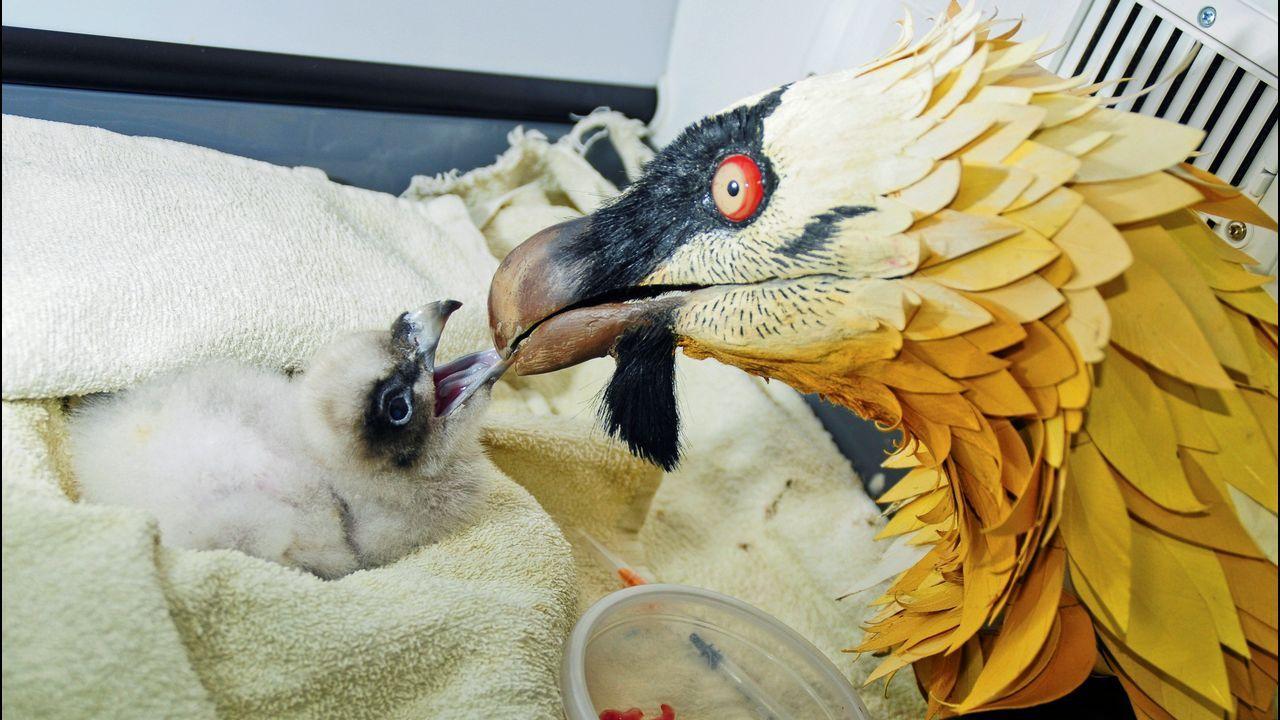 Fotografía facilitada por la Fundación para la Conservación del Quebrantahuesos (FCQ) de señuelos con pollos de quebrantahuesos. (Foto de archivo). Sesenta años después de su desaparición de la cordillera cantábrica, el quebrantahuesos, un buitre en peligro de extinción, afianza su recuperación en los Picos de Europa con una unidad reproductora consolidada y la suelta récord de 7 ejemplares, antes de que finalice el mes de julio