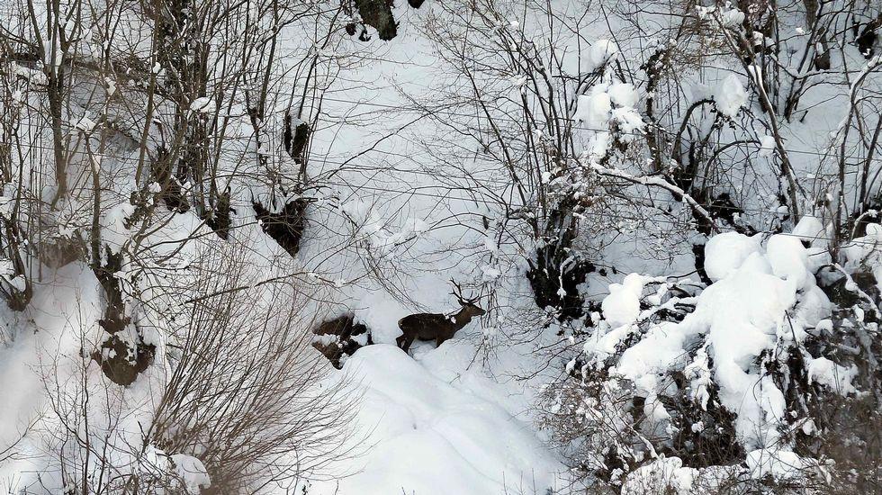 Un hombre muestra el espesor de la nevada en Riofrío, en la vertiente asturiana de San Isidro.Un venado entre la nieve hoy en el concejo de Aller