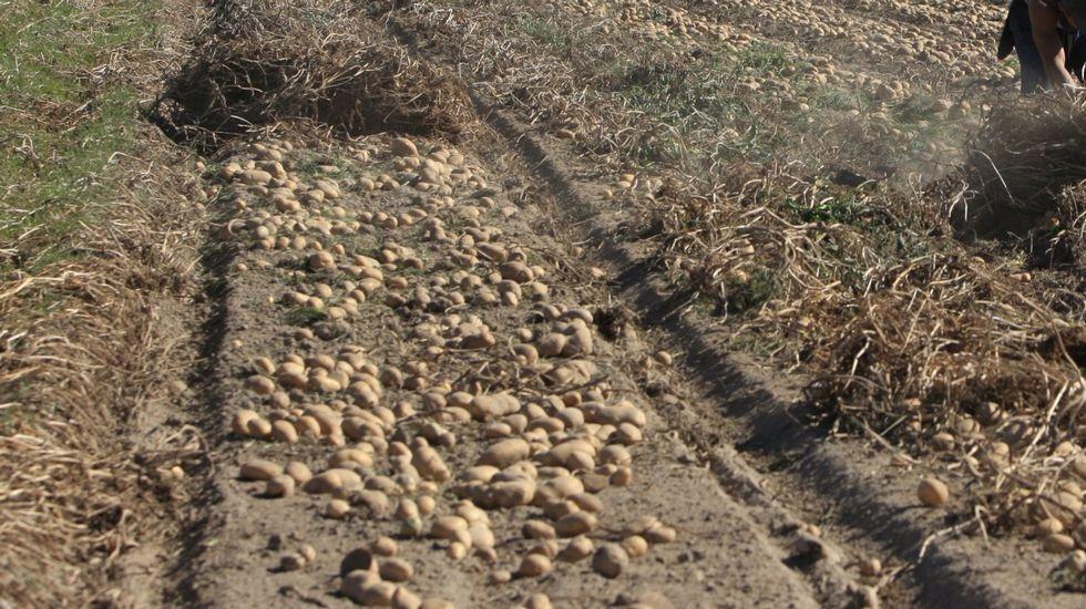 .En A Limia se recogen más de 120 millones de quilos de patatas al año