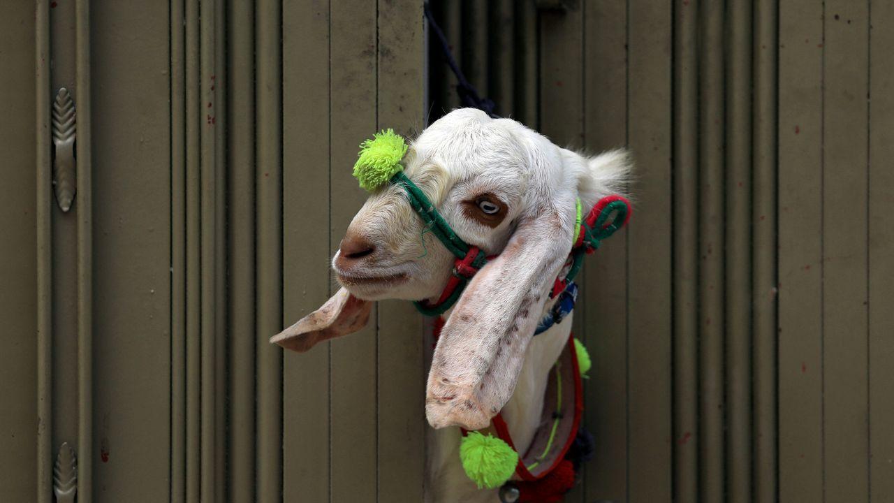 Una cabra asoma por la puerta antes de ser sacrificada en Pakistán