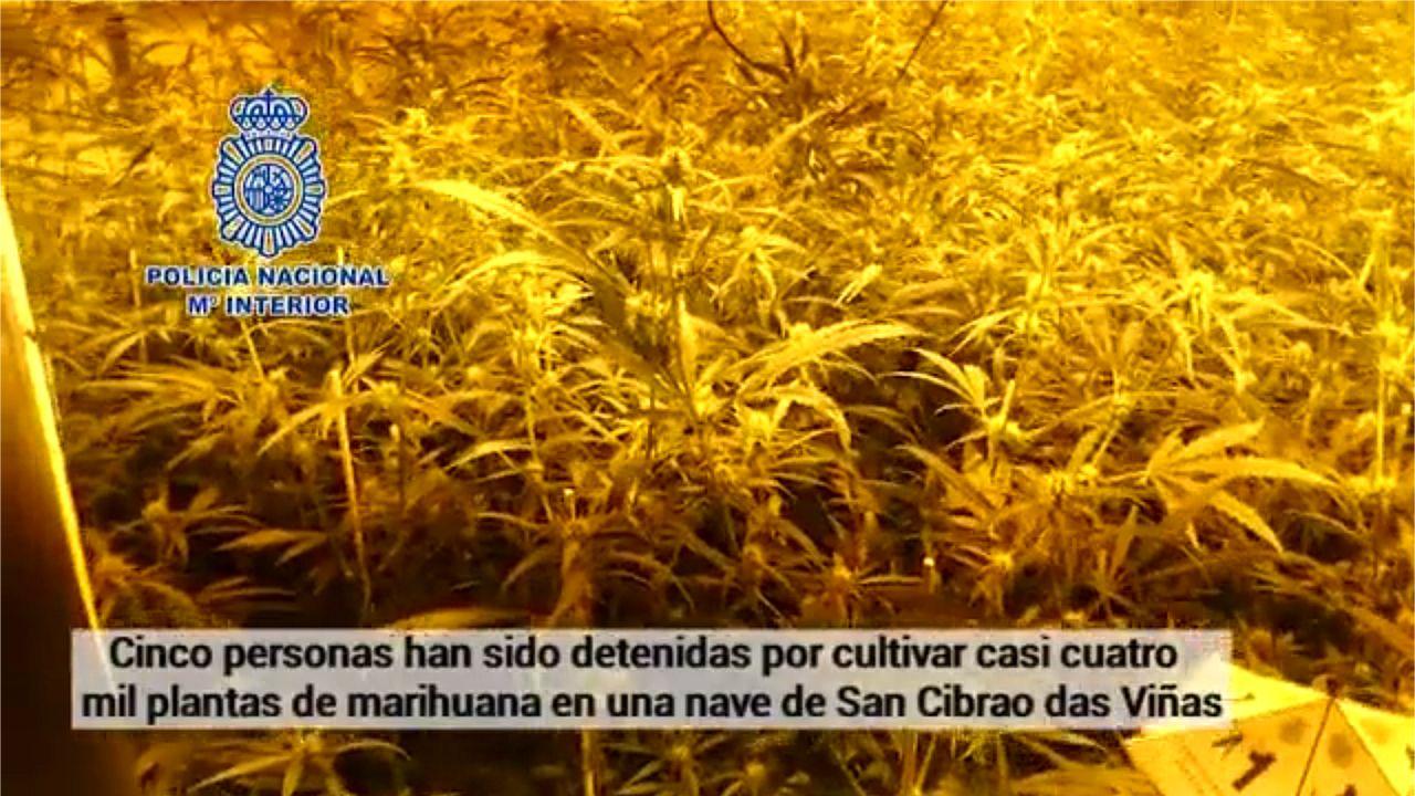 Así era la plantación de marihuana desmantelada en Ourense.