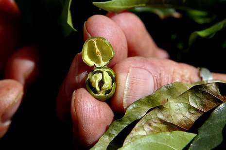 Un productor muestra un grano de café estropeado por la sequía.