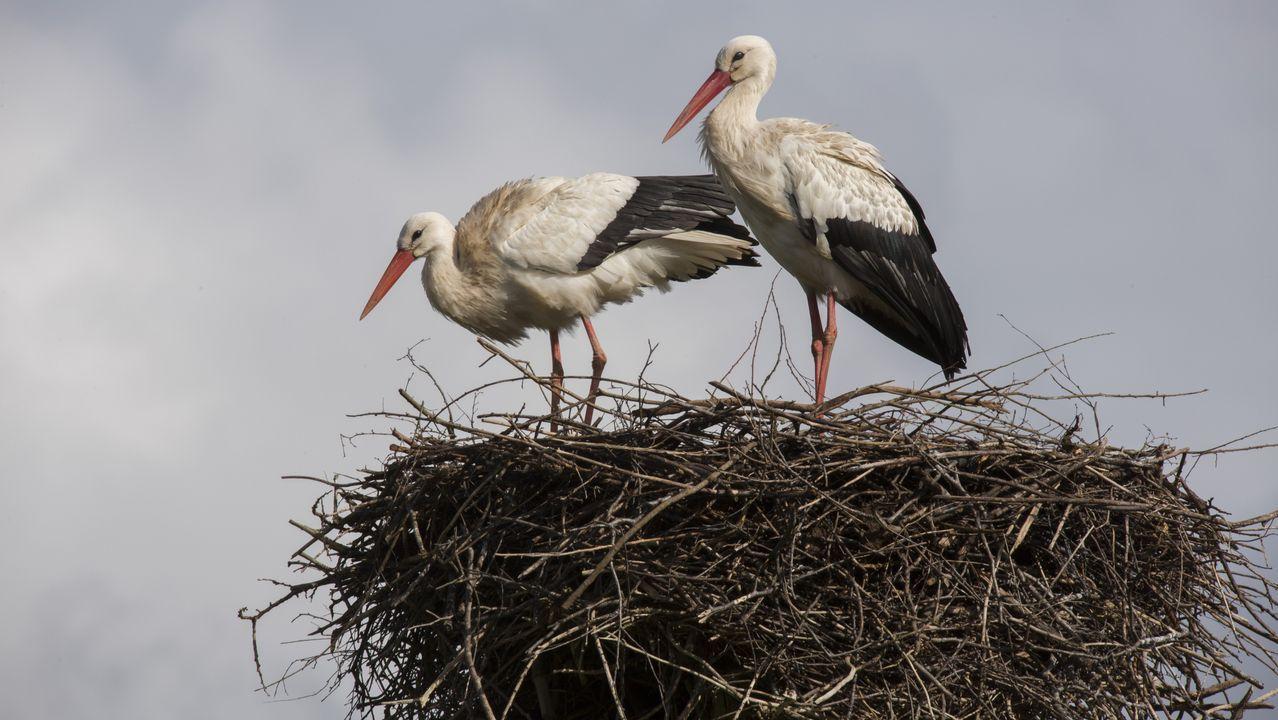Las cigüeñas y los cormoranes toman posesión de la comarca