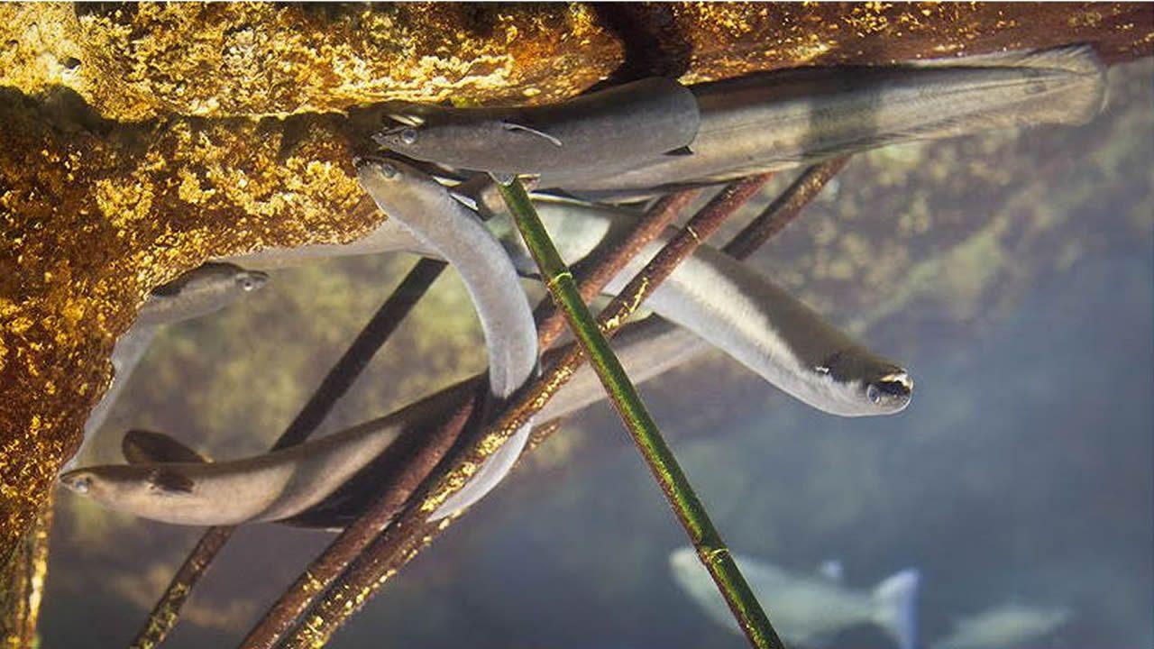 O ciclo biolóxico da anguía faina moi vulnerable