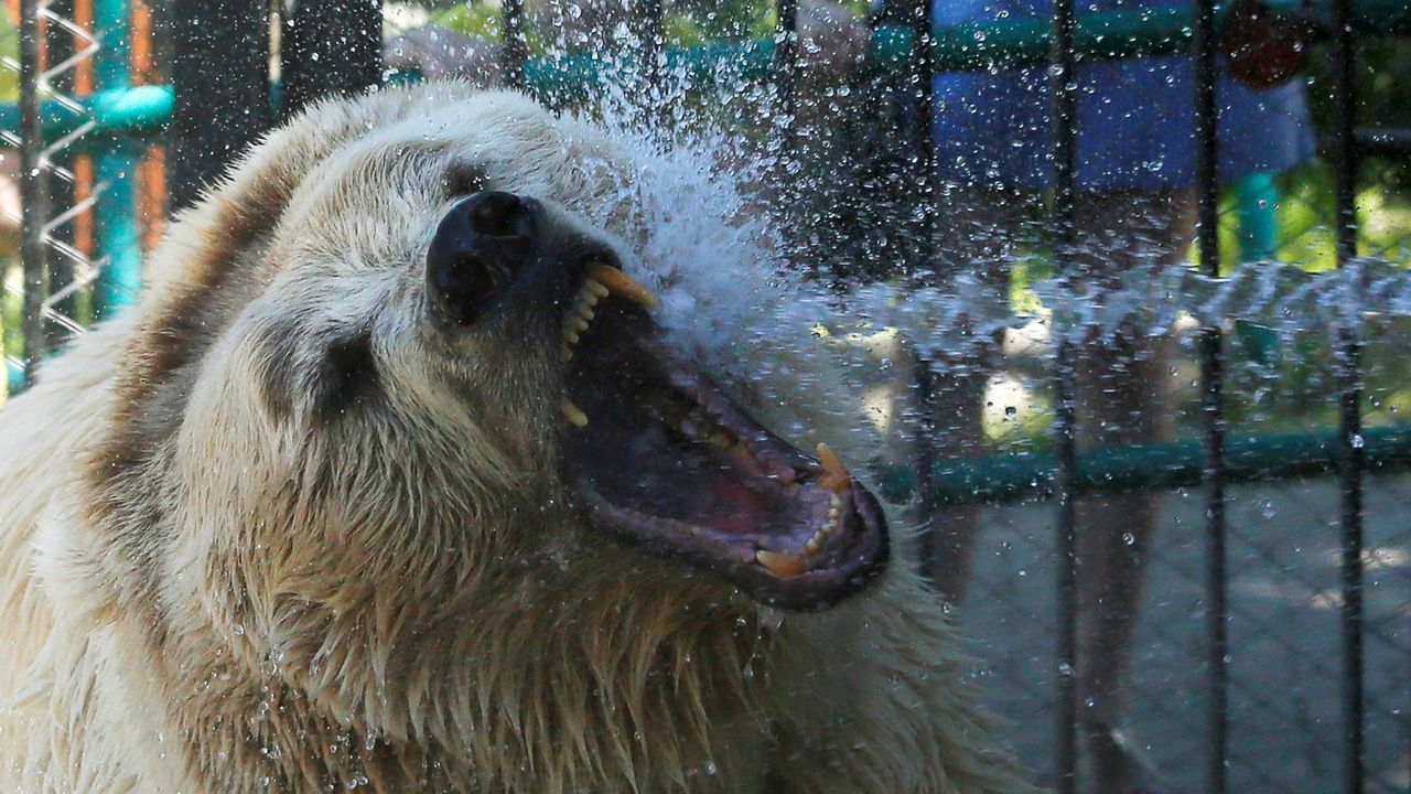 Un oso se refresca durante una calurosa jornada en el zoo de Krasnoyarsk, en Rusia