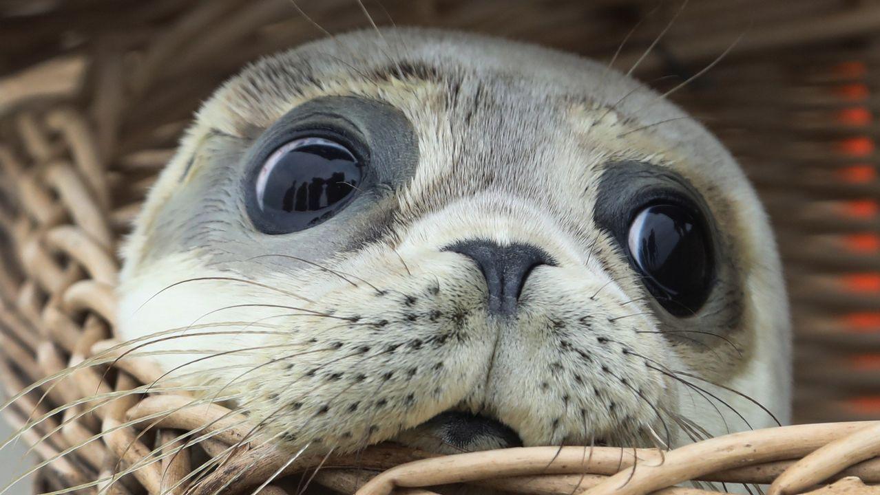 Una cría de foca sale de una cesta en el Mar del Norte, en la isla de Juist (Alemania)