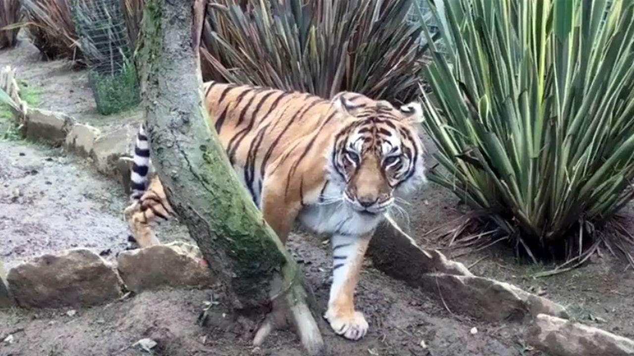 Familia adopcion hijo hija hijos padre madre adoptar.Una de las tigresas del Zoologico El Bosque de Oviedo