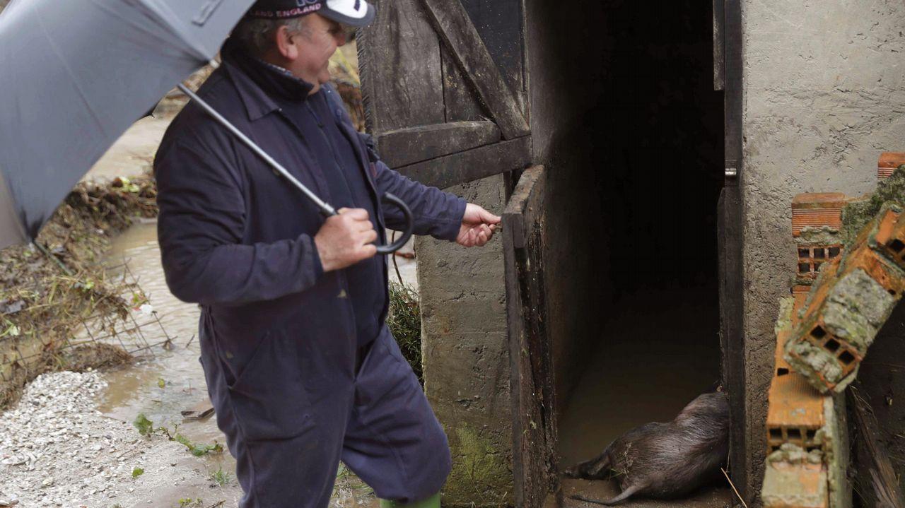 Un hombre observa sus cerdos que han fallecido en la localidad asturiana de Laviana a causa del temporal de lluvias registrado en los últimos días en Asturias
