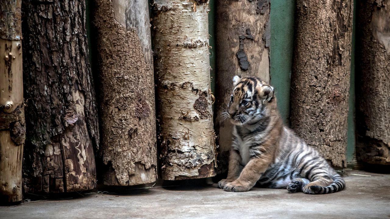 Una de las crías de tigre malayo del zoo de Praga