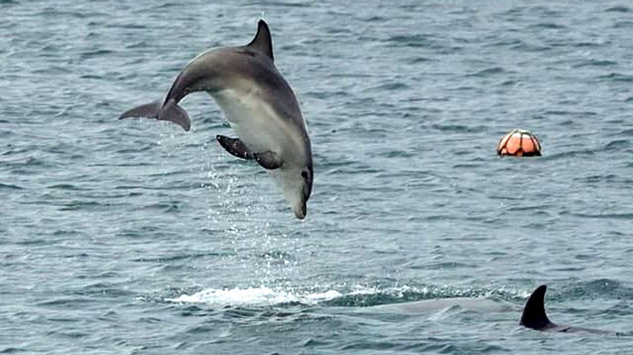 Una manada de delfines se adentra en el puerto de Cariño