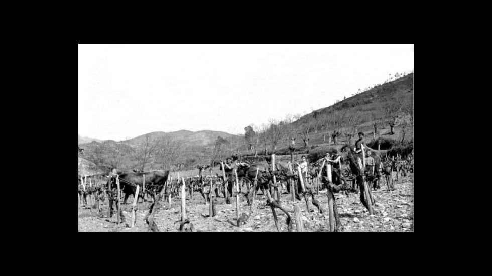.Arado dun viñedo na Ribeira en 1958