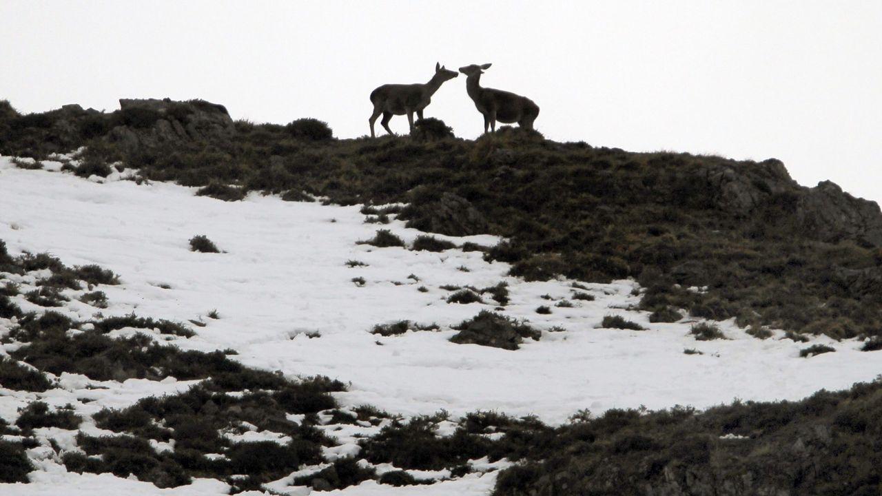 Venadas en la nieve de las proximidades del puerto asturiano de San Isidro