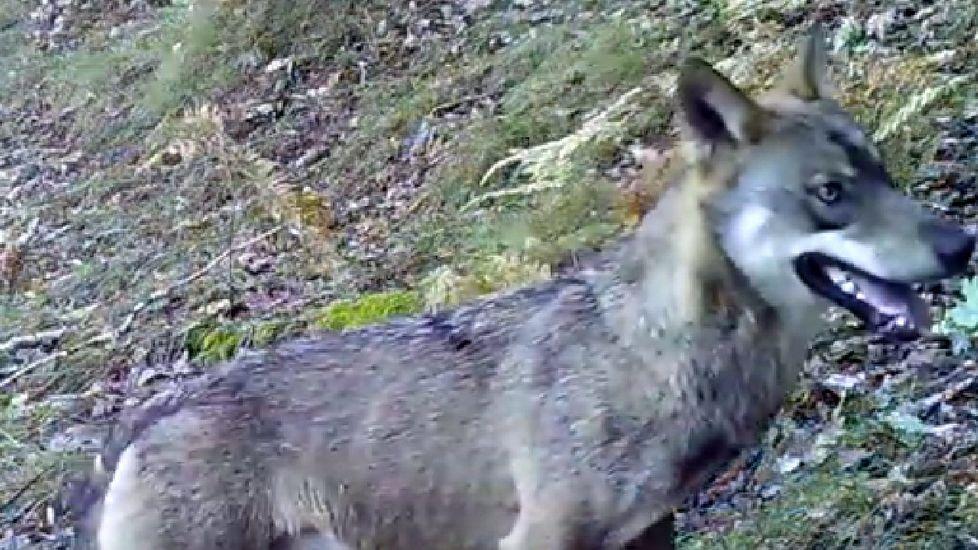 Imágenes de la fauna salvaje de la sierra de O Courel.El bosque de la Devesa da Rogueira se extiende por la falda del monte Formigueiros