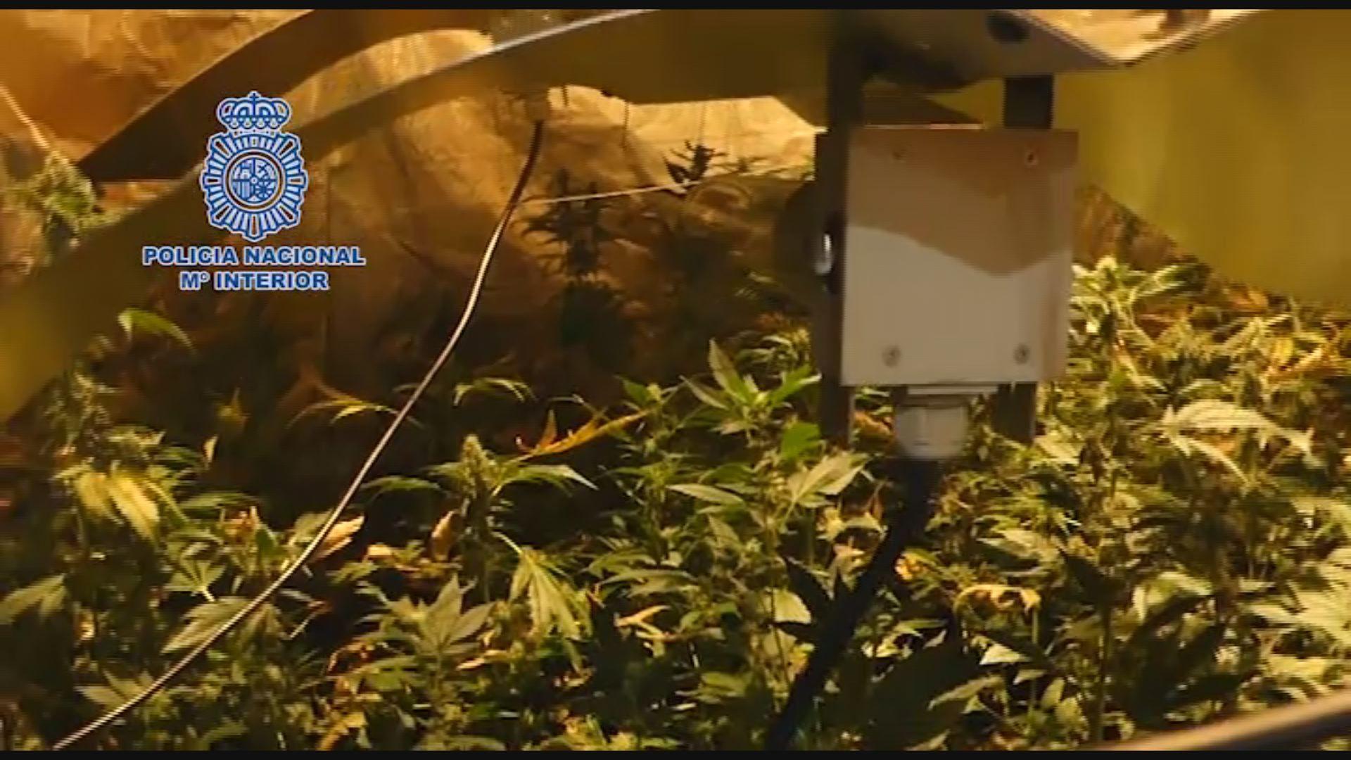 Guardaba setecientas plantas de marihuana en su casa de Ribeira.