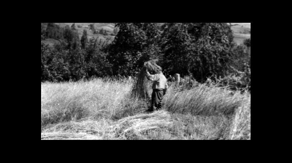 .Sega do centeo na Ribeira en 1950