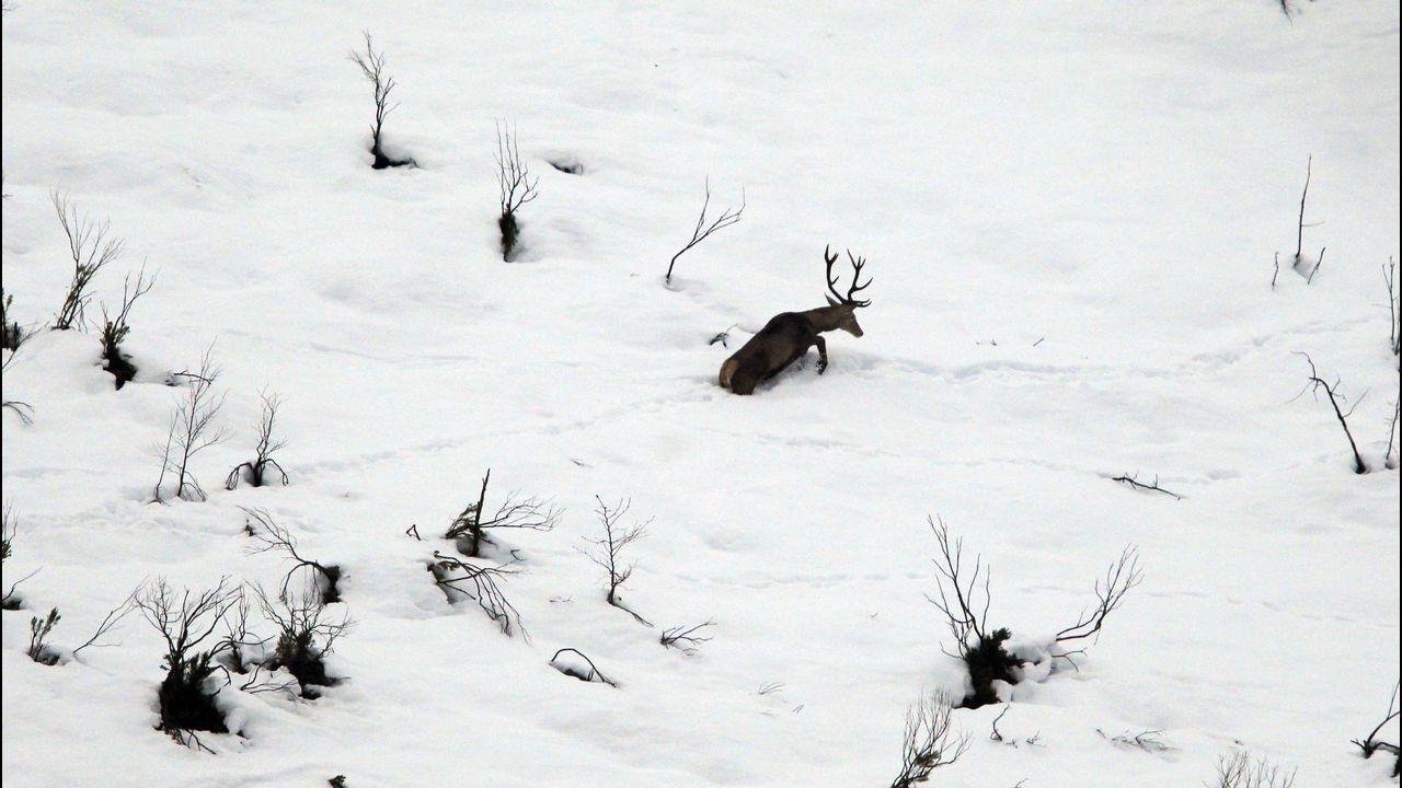 Venado en la nieve en las proximidades del puerto asturiano de San Isidro