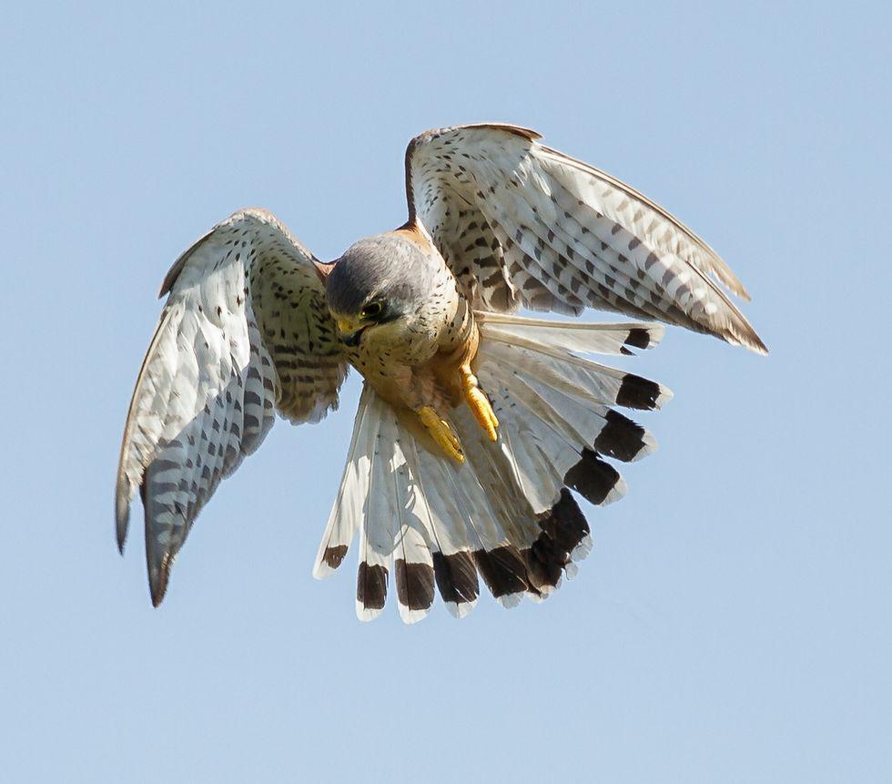 El Falco tinnunculus pesa tan solo 200 gramos.