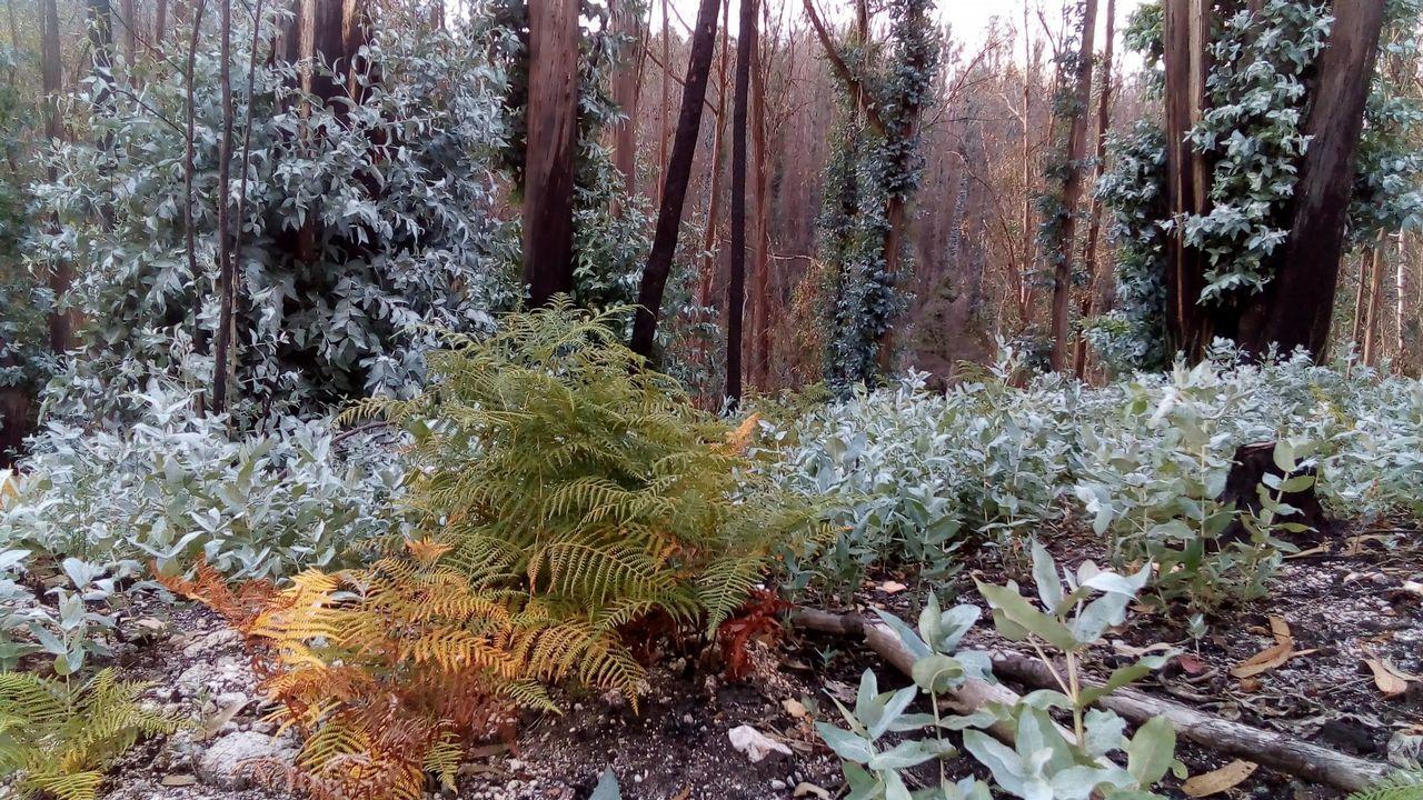 .Los eucaliptos rebrotan en una de las zonas arrasadas por los incendios del pasado octubre, Chandebrito