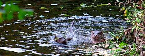 Nutrias cazando pescados en un río de la comarca de Barbanza.