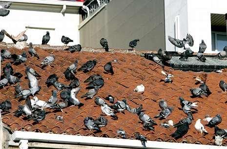 La estampa de decenas de palomas sobre los tejados de Vilagarcía parece que ya es historia.