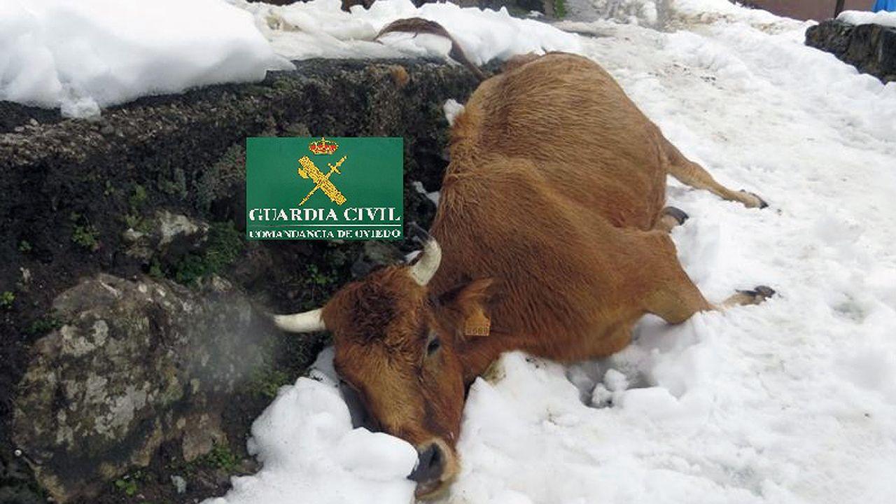 Una de las vacas que un ganadero de Teverga dejó morir por inanición, entre la nieve