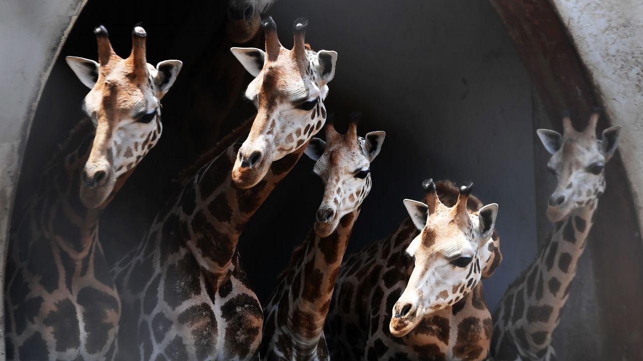 .Un grupo de jirafas en el zoológico de Calcuta