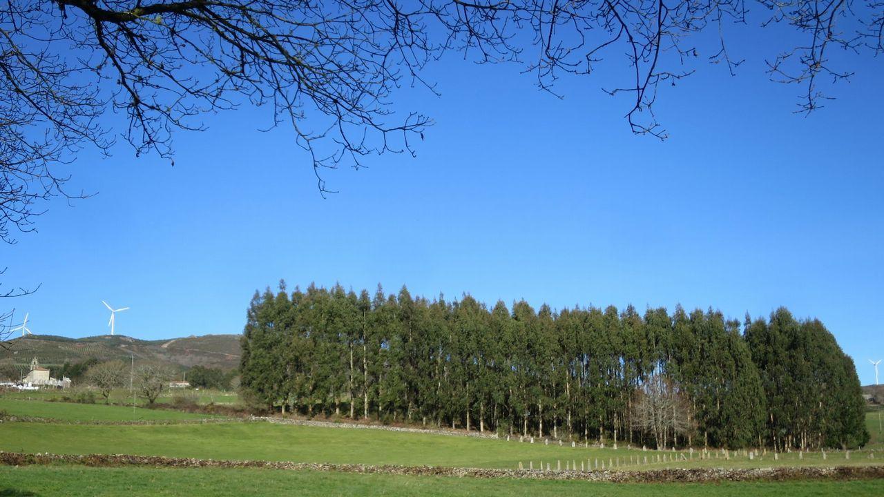 Las plantaciones de eucalipto representan el 3% de la superficie forestal española y el 17% de la gallega