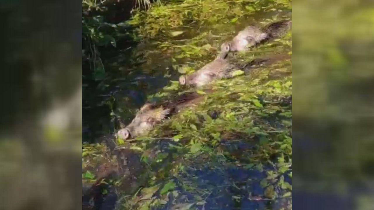 Rescate de cuatro crías de jabalí de un estanque