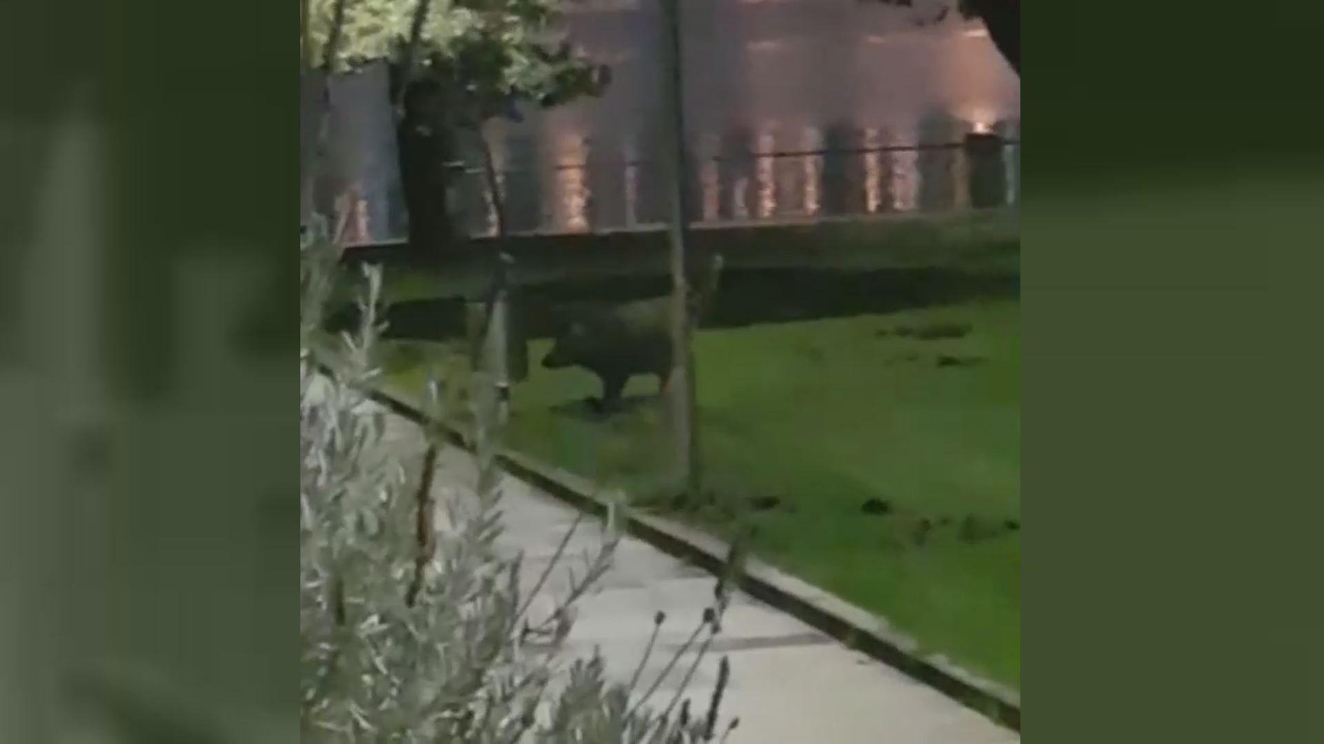 La sorpresa de los vecinos al ver a un jabalí en Oleiros.