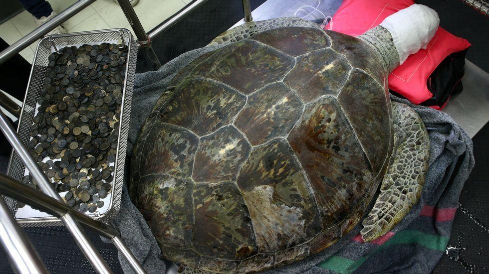 Omsi, una tortuga hembra de 25 años, se recupera tras ser intervenida en la Facultad de Veterinaria de la Facultad de Bangkok, donde le extrajeron decenas de monedas que alojaba en su estómago