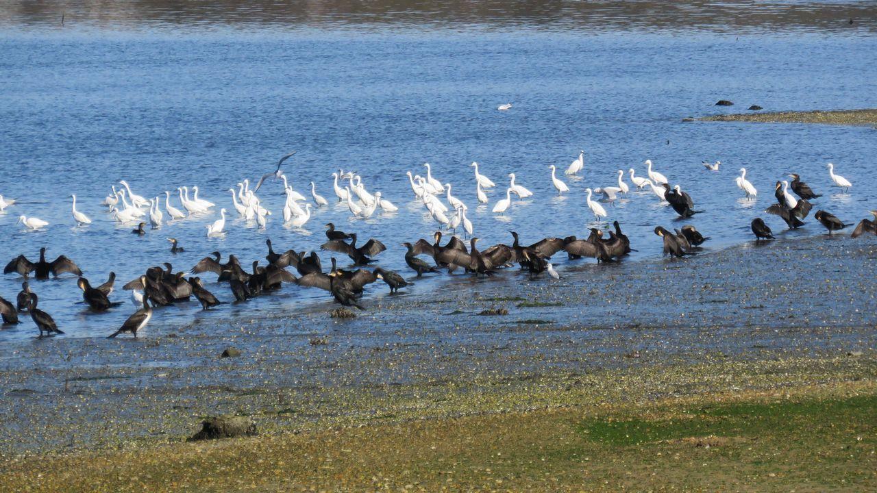 Cormoranes grandes y garcetas comunes