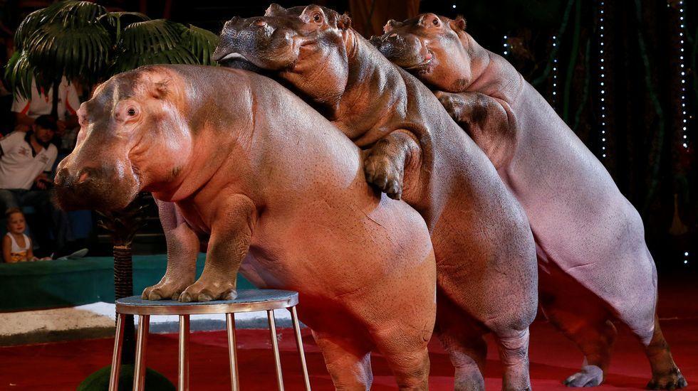 .Hipopótamos durante un espectáculo de circo en Rusia.