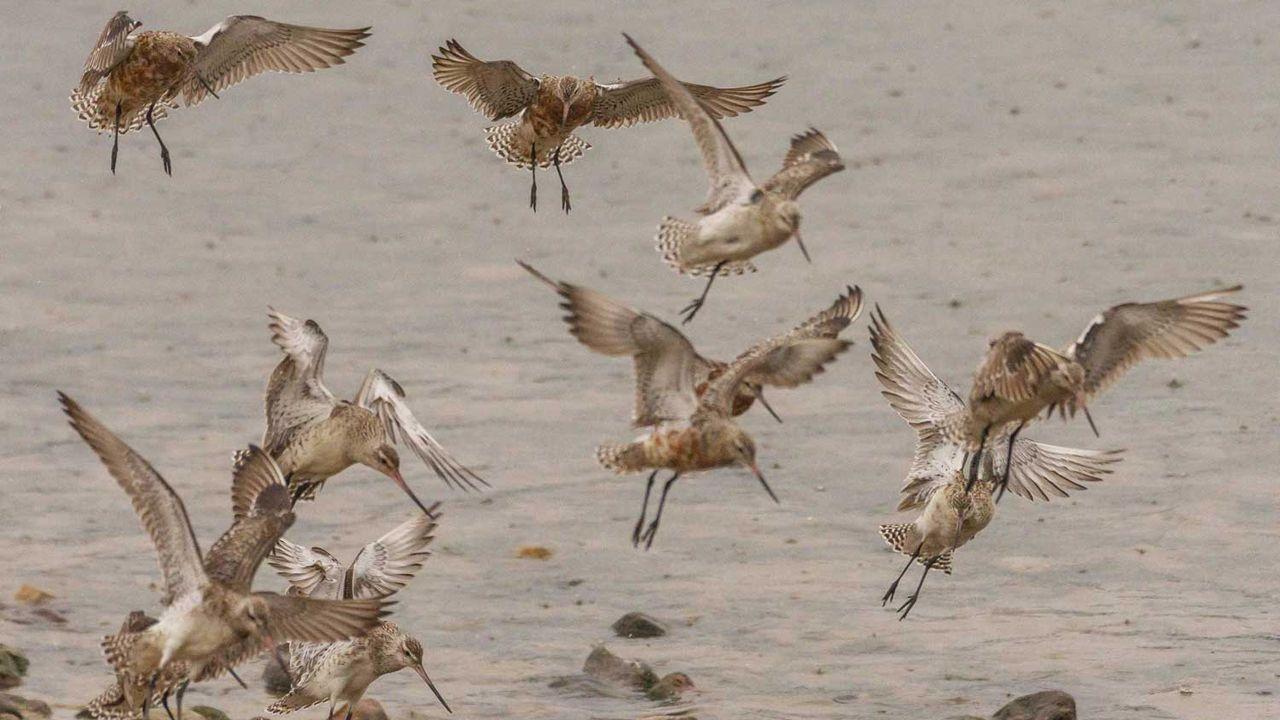 Miles de aves migratorias brindan un espectáculo en la ría de Avilés