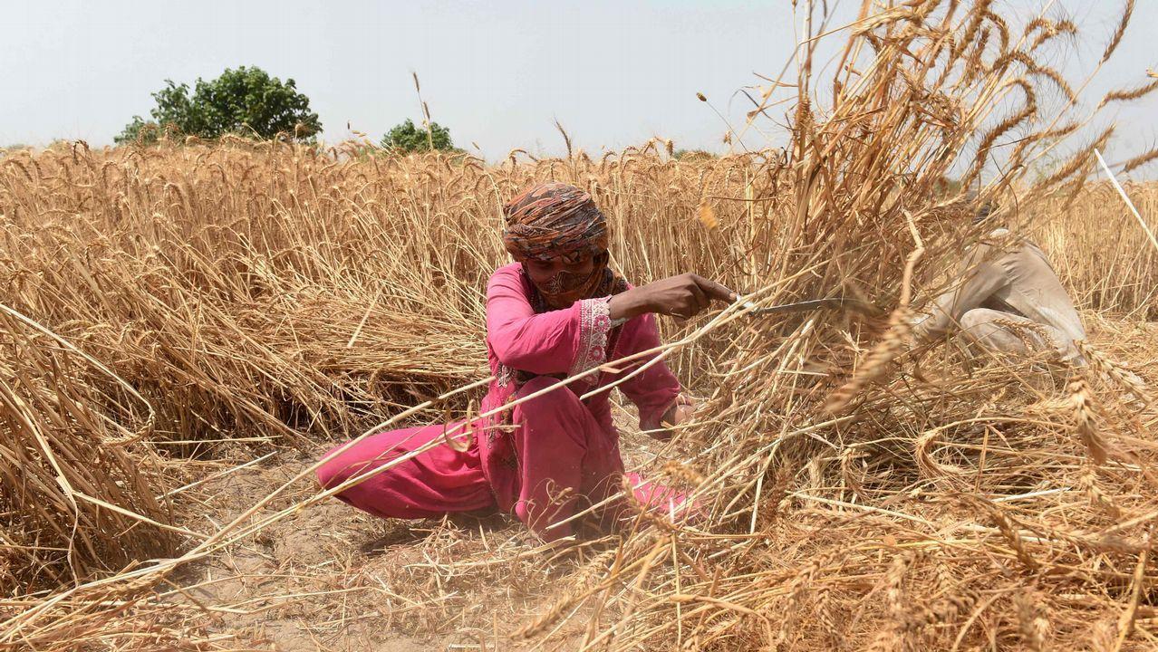 .Un agricultor paquistaní siega cereales en las afueras de Lahore