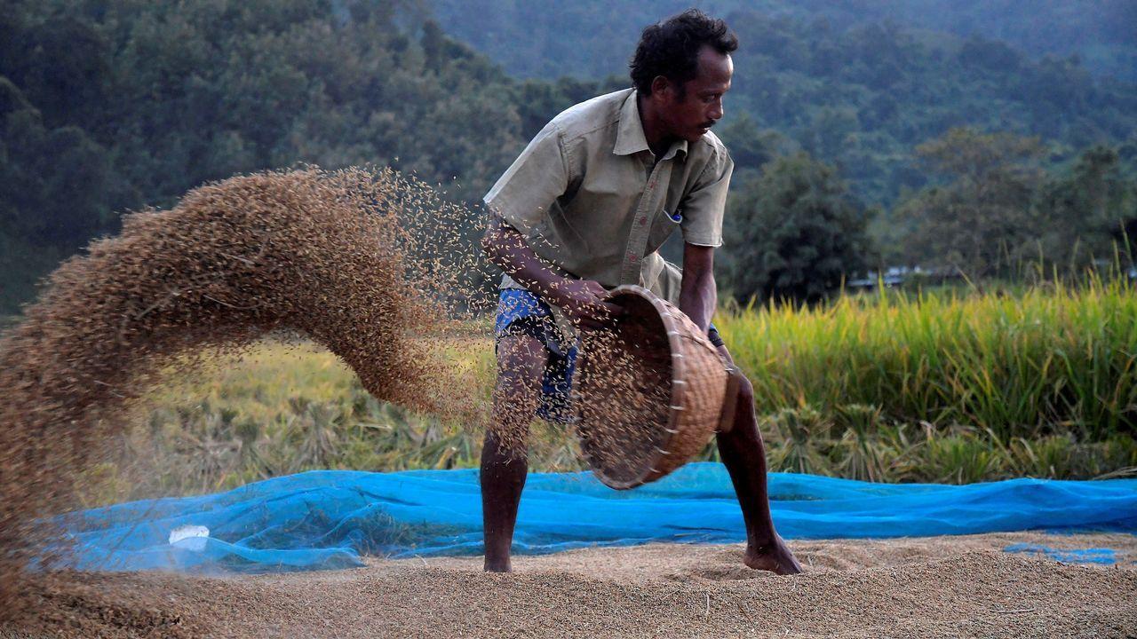 .Un agricultor recolecta arroz en Kamrup