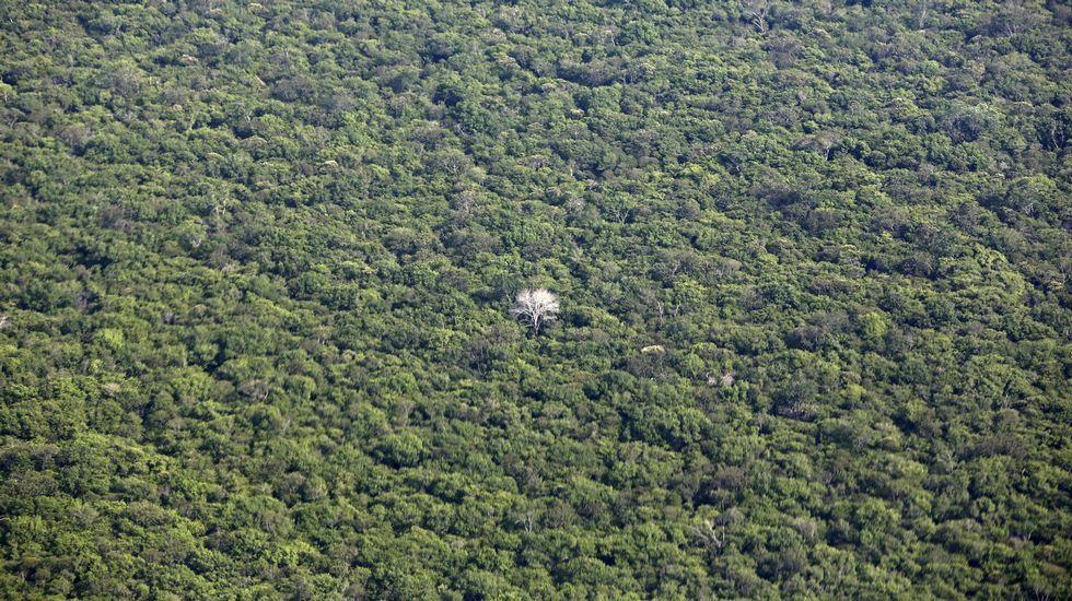 Altas temperaturas en Galicia.Un peculiar árbol con las ramas blancas en el medio del Amazonas