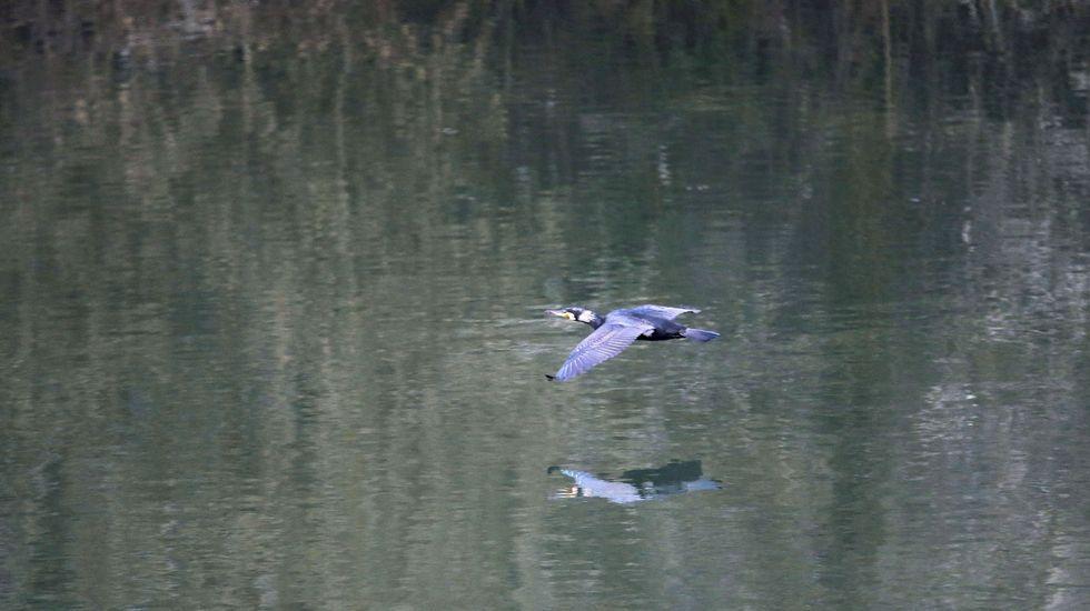 Un ejemplar de lobo. Un cormorán vuela sobre las aguas del embalse de Soto de Ribera, en las proximidades de Oviedo