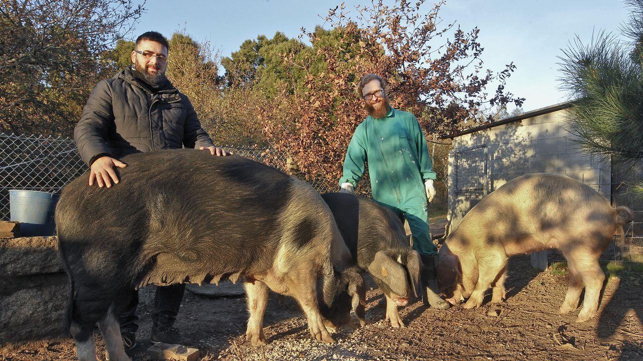 Emprendedores criando porcos celtas