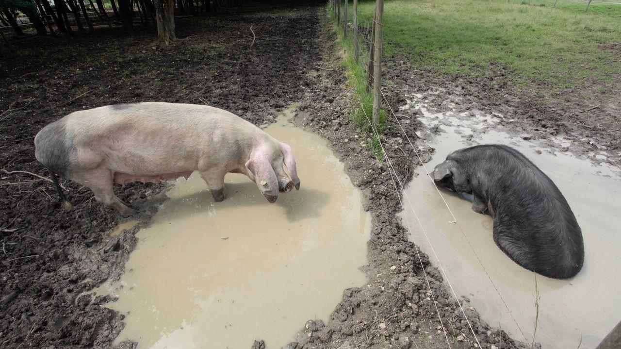 En la casa hay diez ejemplares de porco celta