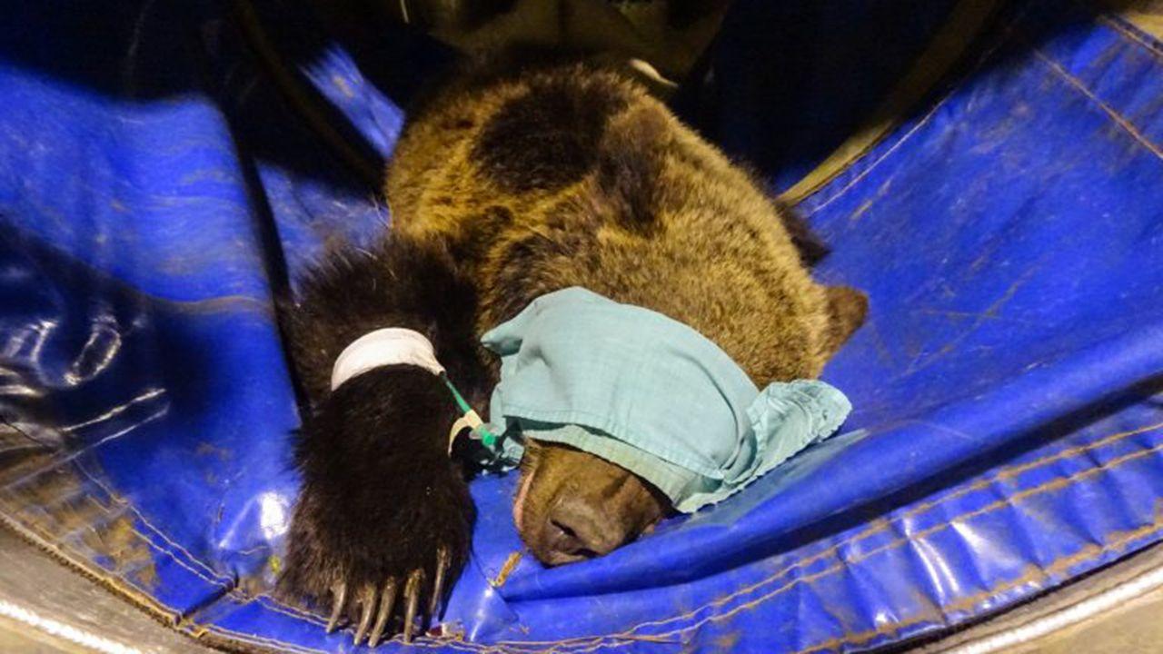 Beato, el oso rescatado en Cantabria