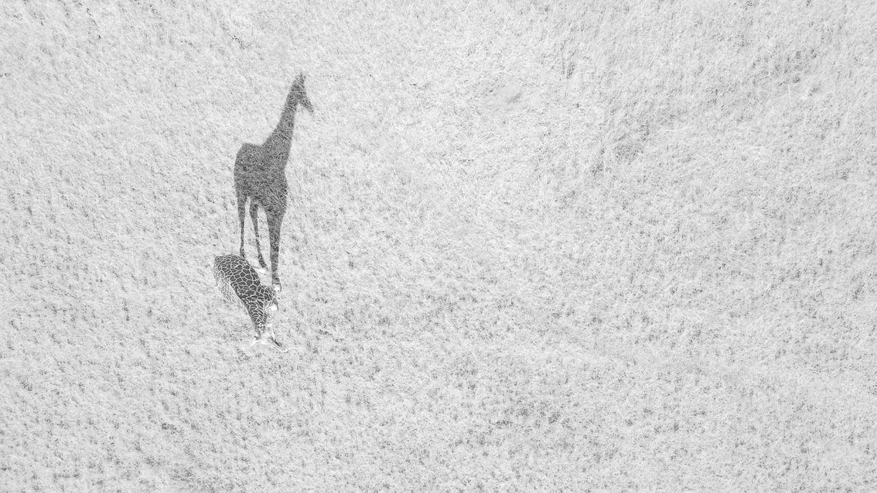 «Gran sombra», otra de las imágenes que figura entre las elegidas la modalidad vida salvaje y en la que una jirafa es protagonista