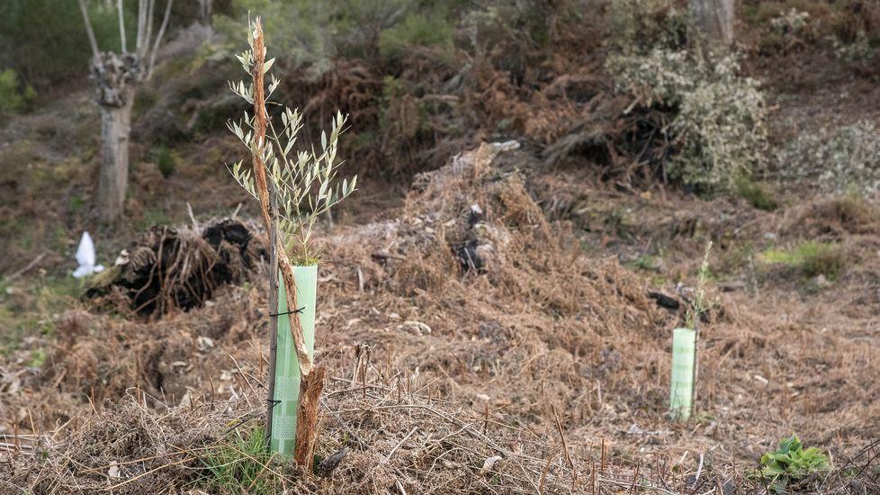 Uno de los olivos plantados en el entorno de la aldea