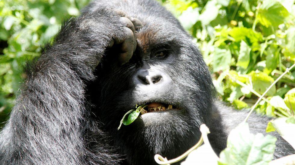 La devastación en Indonesia, desde el aire.Gorila en peligro de extinción