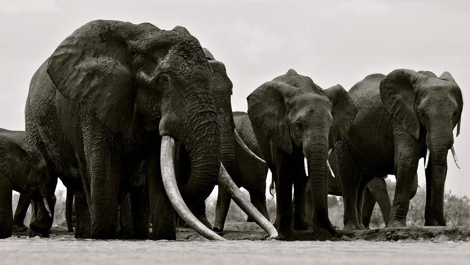 EL REY, ABATIDO. Satao, en primer plano junto a su manada, considerado el rey de los elefantes, fue una de las últimas víctimas de los cazadores furtivos. La imagen fue tomada por el fotógrafo Mark Deeble y recogida en su blog http://markdeeble.wordpress.com/
